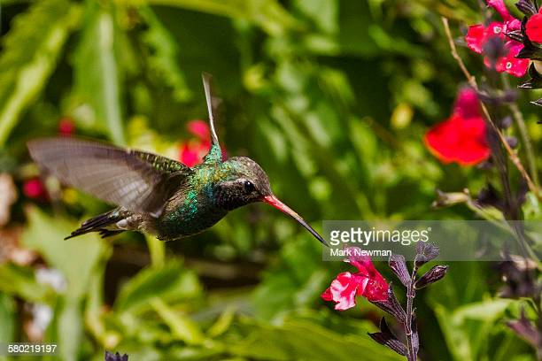 broad billed hummingbird - pollination stock pictures, royalty-free photos & images