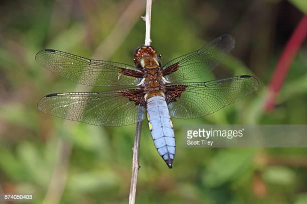Broad Bodied Chaser Dragonfly Libellula depressa