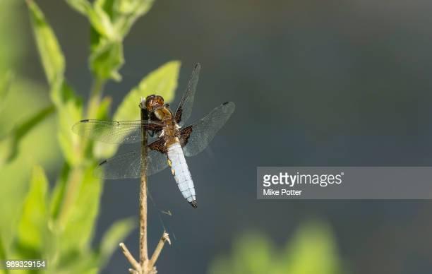 Broad bodied Chaser (libellula depressa)