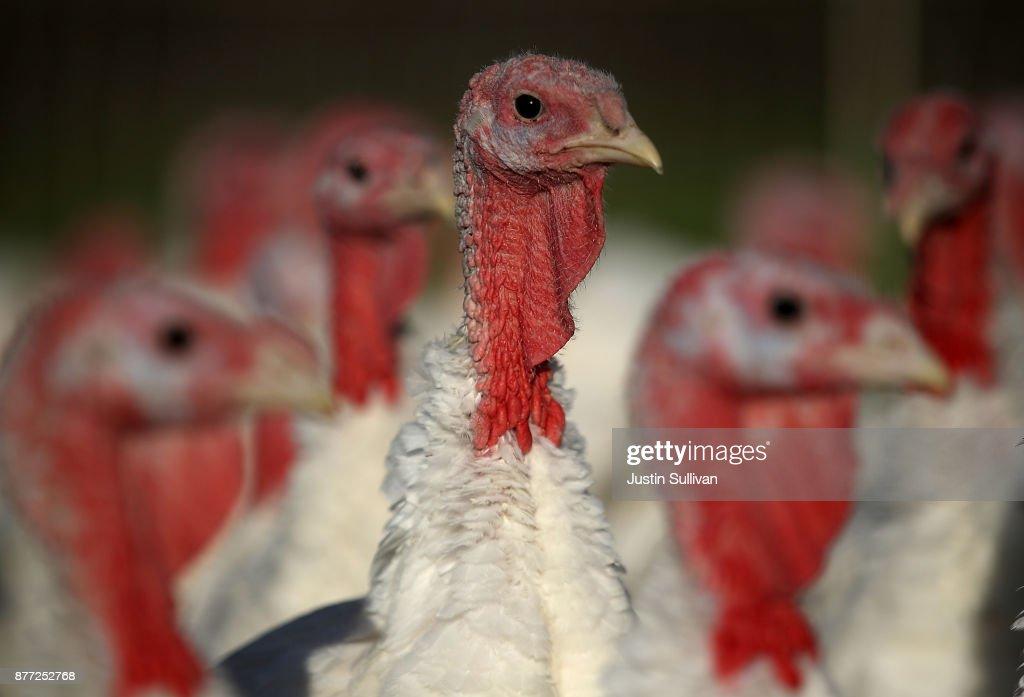 Turkeys Raised On California Farm : News Photo