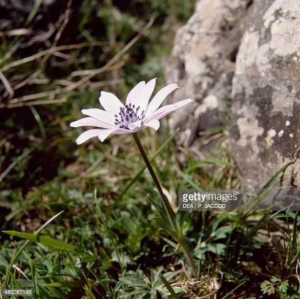 Broad Leaved Anemone Ranunculaceae Supramonte of Orgosolo Gulf of Orosei and Gennargentu National Park Sardinia Italy
