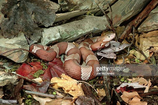 broad-banded copperhead coiled in leaves - copperhead snake stock pictures, royalty-free photos & images