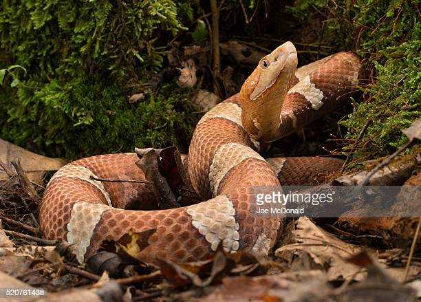 broad-banded copperhead - copperhead snake stock pictures, royalty-free photos & images