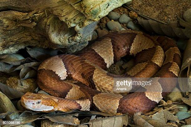 Broadbanded copperhead / Texas copperhead curled up under tree trunk