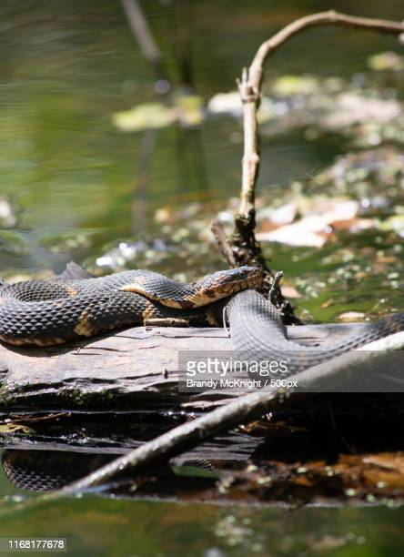 broad-banded water snake (nerodia fasciata confluens) basking on a log in a swamp - squamata stock photos and pictures