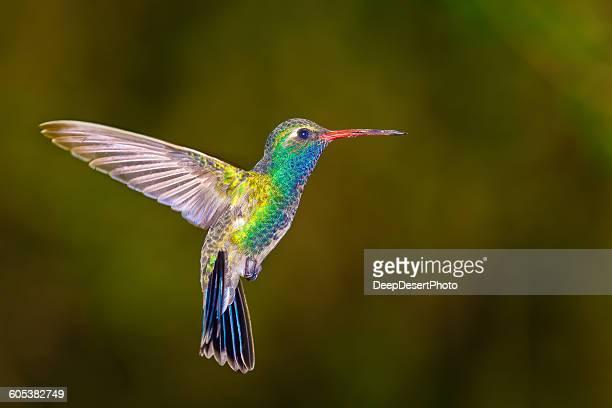 broadbilled hummingbird, arizona, america, usa - beija flor imagens e fotografias de stock