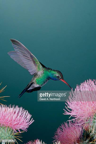 Broad-Billed Hummingbird Feeding from Thistle