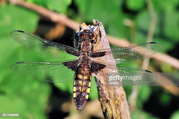 Broadbodied chaser dragonfly / broadbodied darter female on broken branch