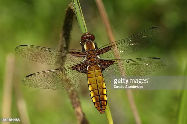 Broad-bodied Chaser Dragonfly (Libellula depressa).