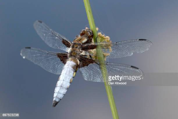 Broadbodied Chaser sits on grass near a pond at the RSPB's Broadwater Warren on June 18 2017 in Tunbridge Wells England Of the 42 species of...