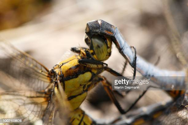 Broad-bodied Chasers (Libellula depressa), mating, close-upof the females head and the males abdomen, Bavaria, Germany