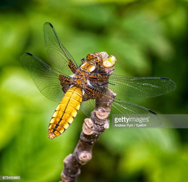 Broad-Bodied Darter On Plant