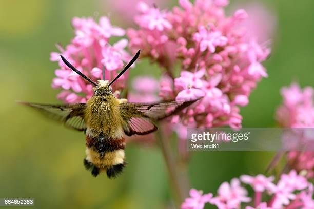 Broad-bordered Bee Hawk-moth, Hemaris fuciformis