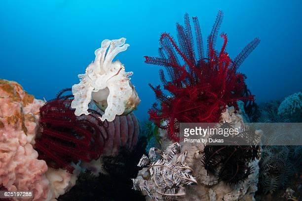 Broadclub Cuttlefish Sepia latimanus Bali Indonesia