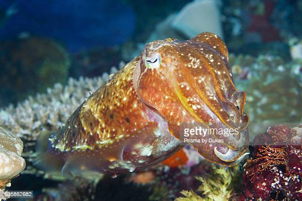 Broadclub Cuttlefish Sepia latimanus Florida Islands Solomon Islands