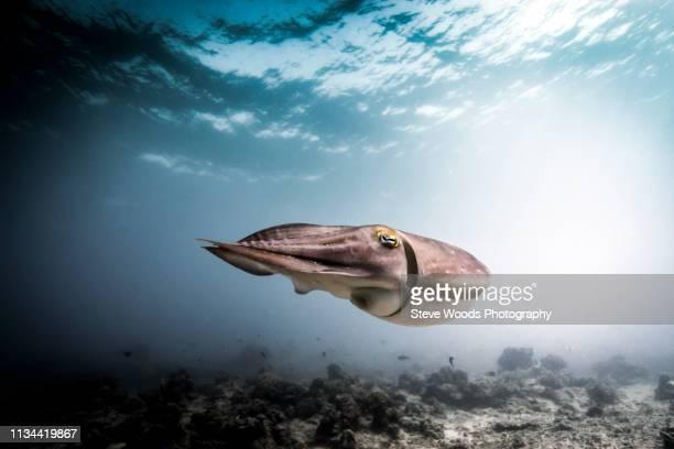 Broadclub cuttlefish (Sepia latimanus) swimming over seabed, Lombok, Indonesia