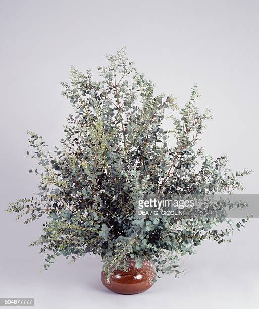 Broadleaved ribbon gum Mountain gum or Sevenflowered mountain gum Myrtaceae