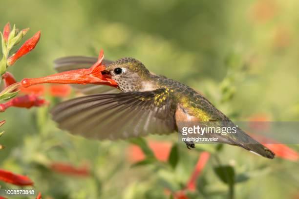 Broad-tailed hummingbird fire chalice flower feeding Chatfield State Park Littleton Colorado
