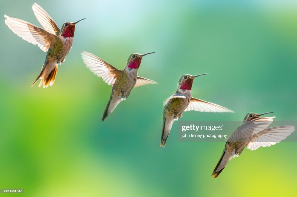 Broad-tailed hummingbird in flight, in sequence. : Stock Photo