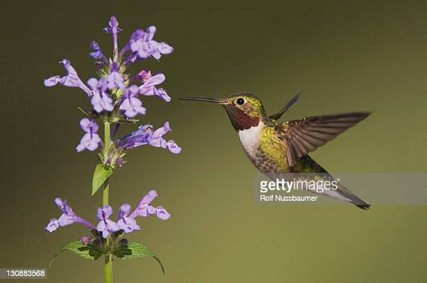 broad-tailed hummingbird (selasphorus platycercus), male in flight feeding on siberian catmint flower (nepeta sibirica), rocky mountain national park, colorado, usa - catmint stock pictures, royalty-free photos & images