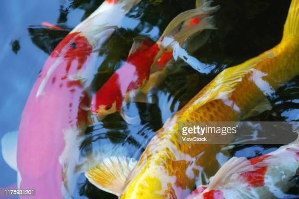 brocade carp - モアレ縞 ストックフォトと画像