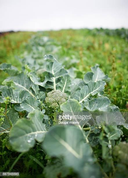 Broccoli growing on farm.