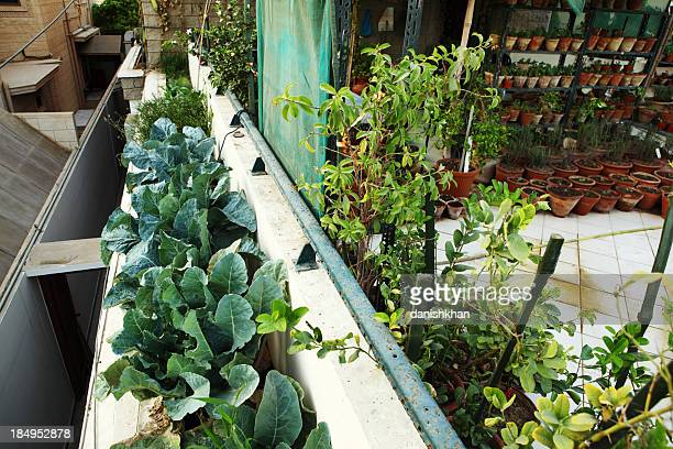 Broccoli in Urban Organic Vegetable and Herbs Garden over Balcon