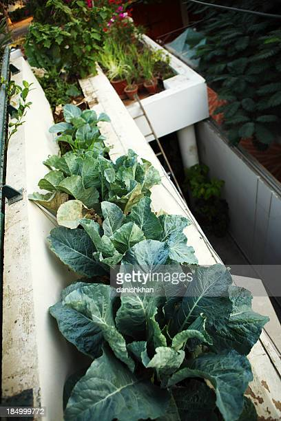 Broccoli Planted in outer Balcony Kitchen Urban Garden