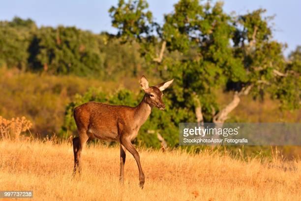 Brocket red deer stag in autumn meadow.