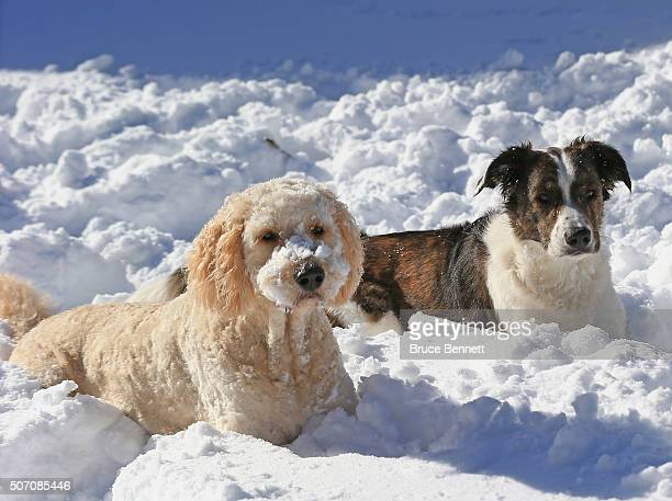 Brody a border collie mix and Ziggy a golden doodle dog play in the snow in the aftermath of Winter Storm Jonas on January 24 2016 in Melville New...