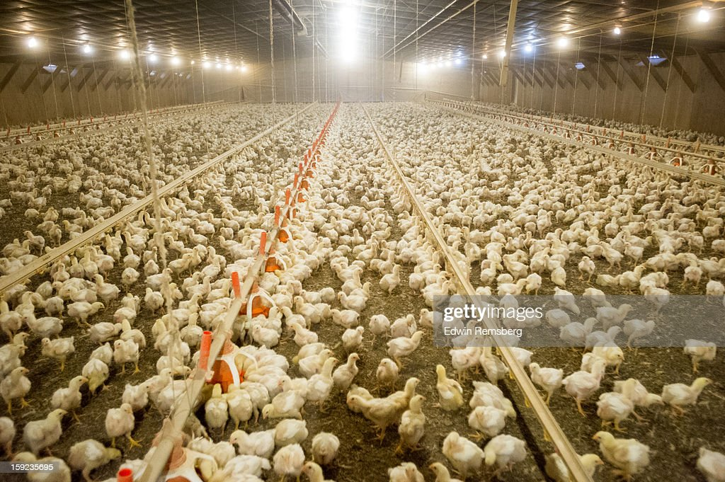 Broiler chickens in poultry house : Stock Photo