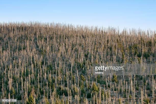 Broken dead spruce trees afflicted by European spruce bark beetle infestation at Lusen Bavarian Forest National Park Bavaria Germany