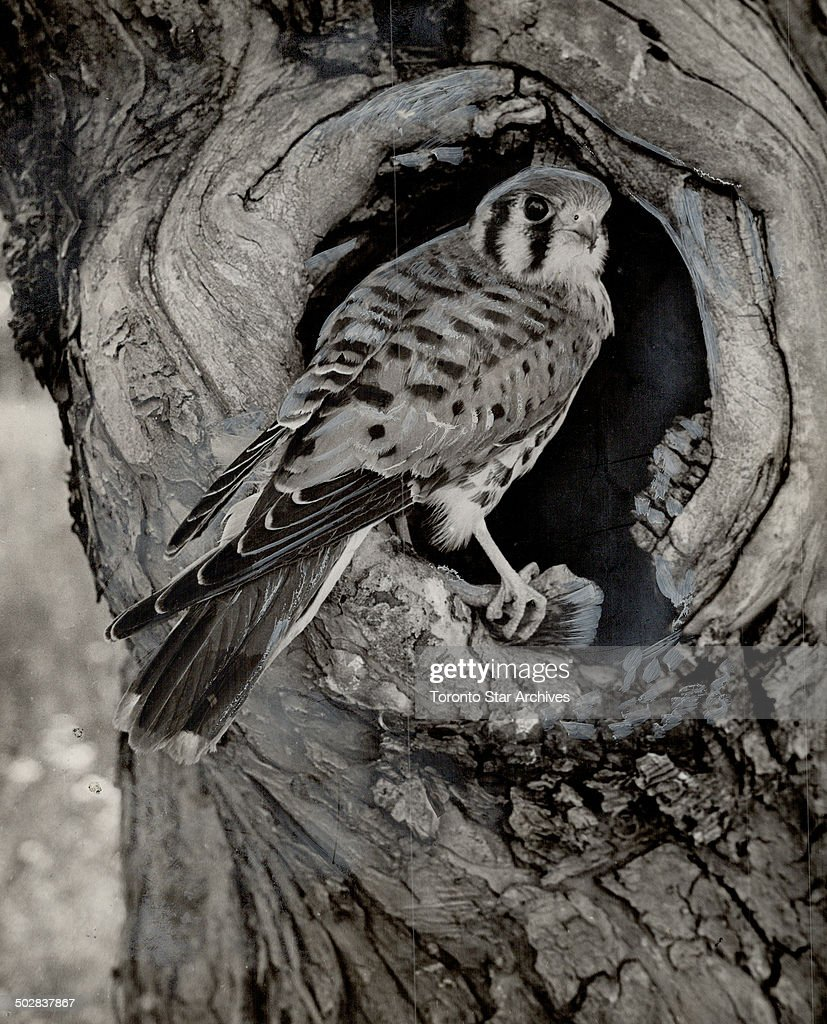 A broken down apple tree provided an ideal nest for this sparrow hawk. The sparrows know him even if : News Photo