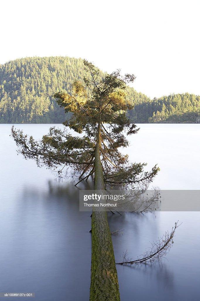 Broken spruce above lake surface : Stockfoto