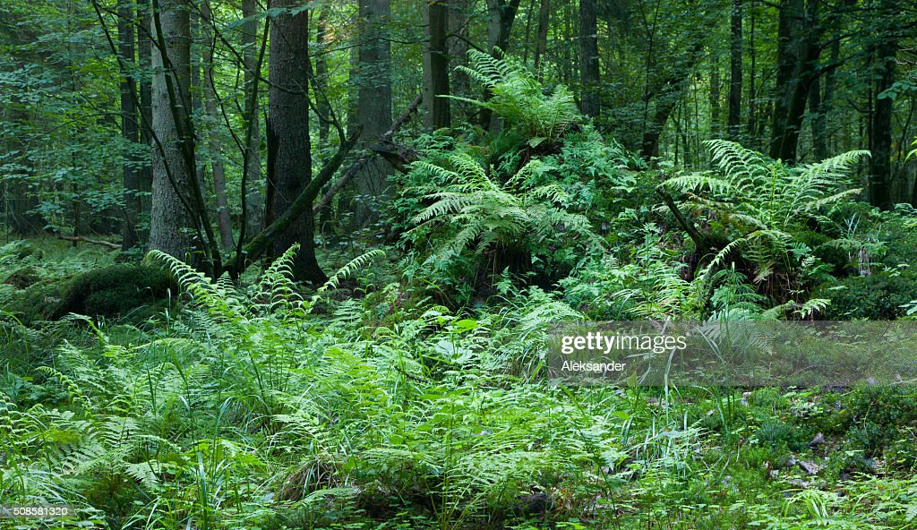 Broken tree stump moss covered and ferns layer above : Stock Photo