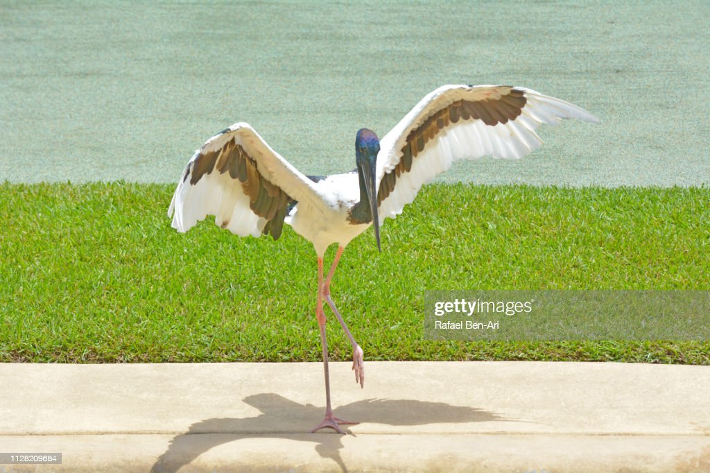 Brolga bird Australian crane : Stock Photo