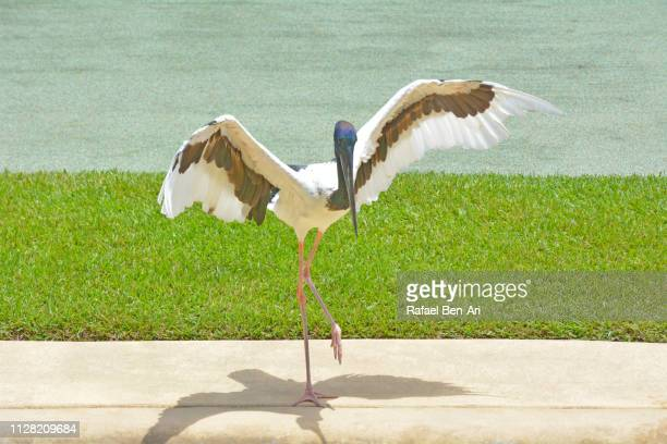 brolga bird australian crane - rafael ben ari stock pictures, royalty-free photos & images
