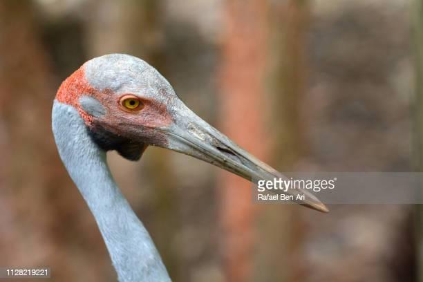 Brolga bird Australian crane
