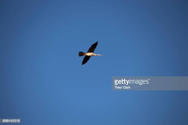 Brolga in flight
