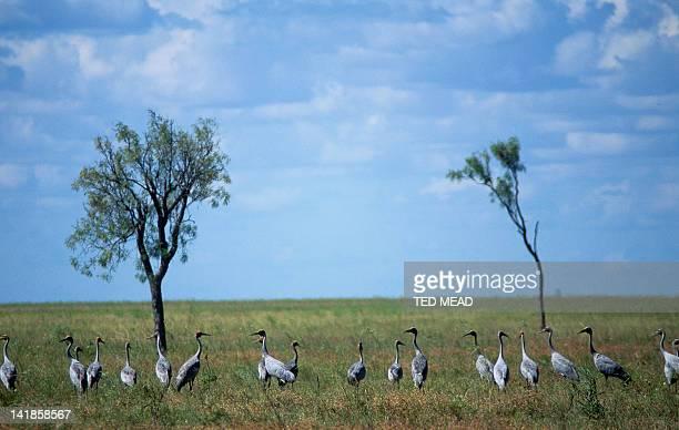 Brolgas ( Grus ubicundus ) on a Savannah Plain in the gulf region of Northern Queensland.