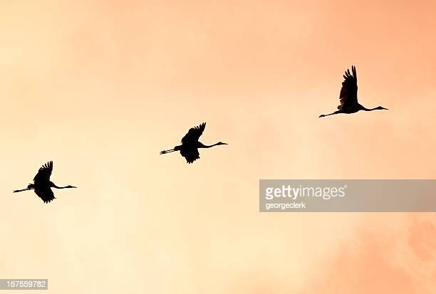 Brolgas Silhouetted in Flight
