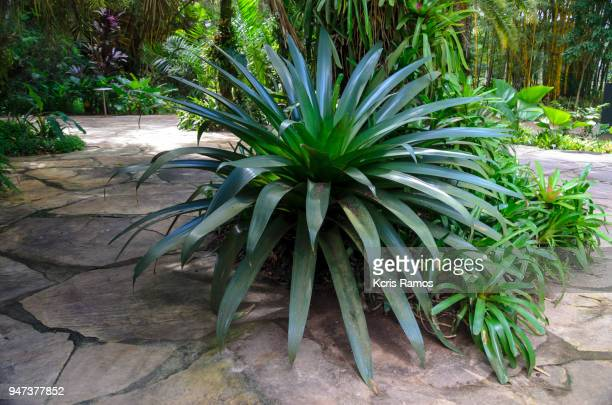 bromelia is a botanical genus belonging to the family bromeliaceae, subfamily bromelioideae, although it is common to name with the same name the species of other genera of the same family - bromeliad stock photos and pictures