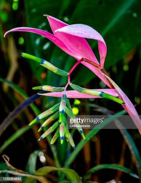 bromeliaceae. plants in the bromeliaceae are widely represented in their natural climates across the americas. - crmacedonio fotografías e imágenes de stock