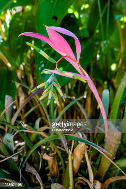 bromeliaceae. plants in the bromeliaceae are widely represented in their natural climates across the americas. - crmacedonio stock pictures, royalty-free photos & images