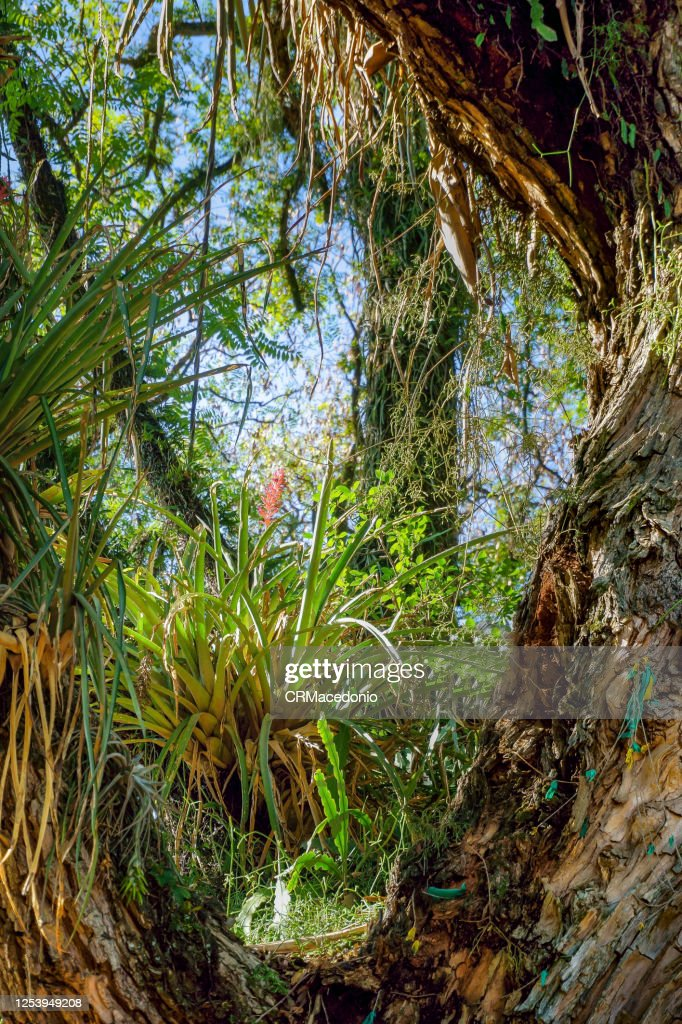 Bromeliaceae. Plants in the Bromeliaceae are widely represented in their natural climates across the Americas. : Stock Photo