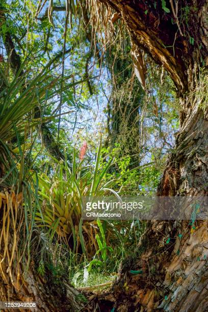 bromeliaceae. plants in the bromeliaceae are widely represented in their natural climates across the americas. - crmacedonio imagens e fotografias de stock