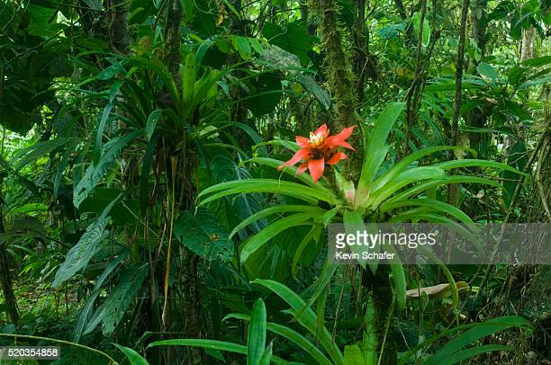 bromeliad bloom in rainforest - epiphyte stock pictures, royalty-free photos & images