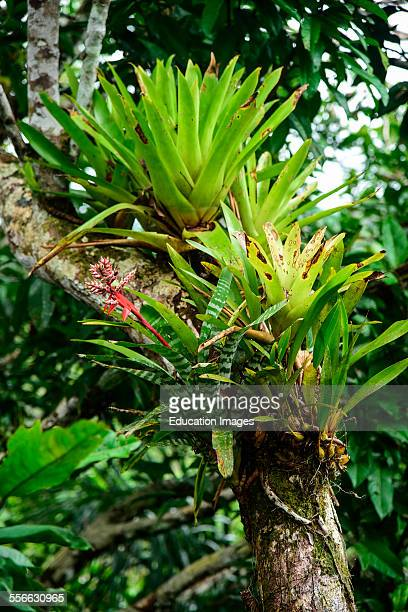 Bromeliad grows on a tree in the Peru jungle.