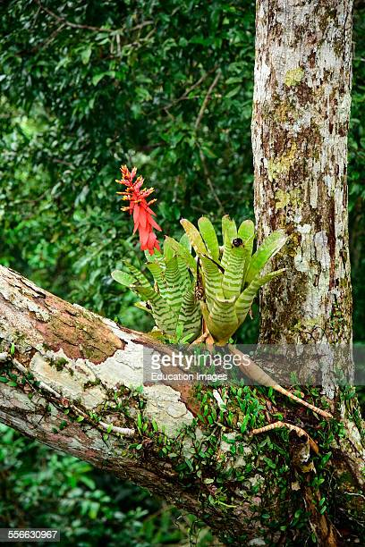 Bromeliad grows on a tree in the Peru jungle
