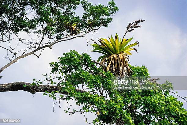 a bromeliad on the branch of a tree in carara national park in costa rica. - epiphyte stock pictures, royalty-free photos & images